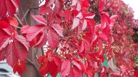 Κόκκινα φύλλα αμπέλων στον κήπο φθινοπώρου στοκ εικόνα