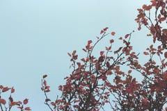 Κόκκινα φύλλα δέντρων της Apple στο υπόβαθρο του μπλε ουρανού Στοκ εικόνα με δικαίωμα ελεύθερης χρήσης