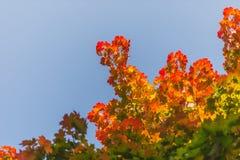 Κόκκινα φύλλα ενός σφενδάμνου Στοκ Εικόνα