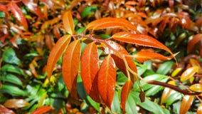 Κόκκινα φύλλα ομορφιάς Στοκ Εικόνα