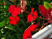 Κόκκινα φύλλα στο δέντρο Νοέμβριος σε Καλιφόρνια, ΗΠΑ Στοκ Εικόνες