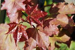Κόκκινα φύλλα σφενδάμου, κινηματογράφηση σε πρώτο πλάνο στοκ φωτογραφίες