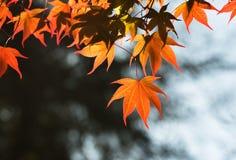 Κόκκινα φύλλα σφενδάμου πτώσης αναδρομικά φωτισμένα με την ηλιοφάνεια Στοκ φωτογραφία με δικαίωμα ελεύθερης χρήσης