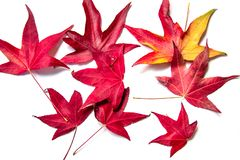 Κόκκινα φύλλα σφενδάμου σε ένα άσπρο υπόβαθρο Ο ερχομός του φθινοπώρου στοκ φωτογραφίες