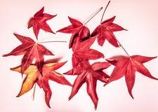 Κόκκινα φύλλα σφενδάμου σε ένα ρόδινο υπόβαθρο Ο ερχομός του φθινοπώρου στοκ εικόνα με δικαίωμα ελεύθερης χρήσης