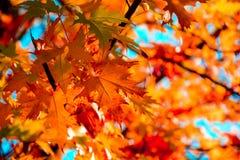 Κόκκινα φύλλα σφενδάμου στην εποχή φθινοπώρου με το υπόβαθρο μπλε ουρανού Εκλεκτική εστίαση στοκ φωτογραφία