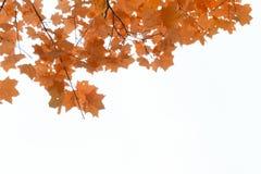 Κόκκινα φύλλα σφενδάμου, φθινοπωρινό πλαίσιο, χρυσό φθινόπωρο Στοκ Εικόνες
