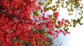 Κόκκινα φύλλα σφενδάμου φθινοπώρου στον αέρα απόθεμα βίντεο