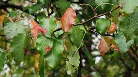 Κόκκινα φύλλα του δέντρου μηλιάς στον κλάδο στη βροχή απόθεμα βίντεο