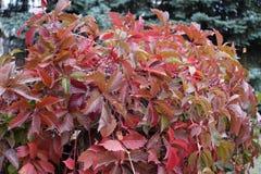 Κόκκινα φύλλα του πέντε-με φύλλα κισσού το φθινόπωρο στοκ εικόνα με δικαίωμα ελεύθερης χρήσης