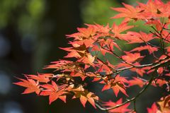 Κόκκινα φύλλα το φθινόπωρο Στοκ Φωτογραφία