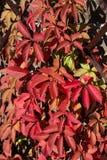 Κόκκινα φύλλα των άγριων σταφυλιών Στοκ Εικόνες