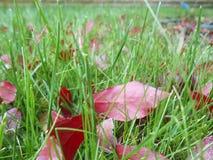 Κόκκινα φύλλα φθινοπώρου στην πράσινη χλόη, μακρο κινηματογράφηση σε πρώτο πλάνο Στοκ εικόνα με δικαίωμα ελεύθερης χρήσης