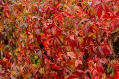 Κόκκινα φύλλα φθινοπώρου στον τοίχο στοκ εικόνα με δικαίωμα ελεύθερης χρήσης