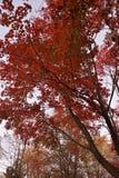 Κόκκινα φύλλα ψηλά το φθινόπωρο στοκ εικόνα