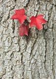 Κόκκινα φύλλα Στοκ εικόνες με δικαίωμα ελεύθερης χρήσης