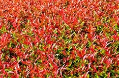 Κόκκινα φύλλα Στοκ Φωτογραφία