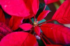 Κόκκινα φύλλα poinsettia αύξησης Χριστουγέννων στοκ φωτογραφία