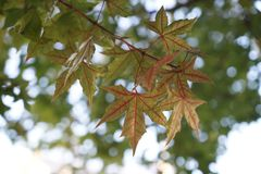 Κόκκινα φύλλο και δέντρο το φθινόπωρο Στοκ φωτογραφίες με δικαίωμα ελεύθερης χρήσης