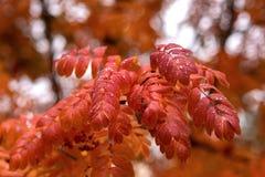 Κόκκινα φύλλα δέντρων σορβιών και πτώσεις της βροχής στοκ φωτογραφίες με δικαίωμα ελεύθερης χρήσης