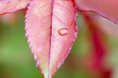 Κόκκινα φύλλα μετά από τη βροχή στοκ εικόνες