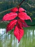 Κόκκινα φύλλα με το θολωμένο υπόβαθρο Στοκ Εικόνες