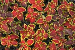 Κόκκινα φύλλα με το κίτρινο υπόβαθρο ακρών Στοκ φωτογραφίες με δικαίωμα ελεύθερης χρήσης