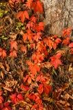 Κόκκινα φύλλα πτώσης φθινοπώρου Στοκ Φωτογραφία