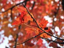 Κόκκινα φύλλα στο δέντρο στοκ εικόνες