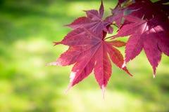 Κόκκινα φύλλα σφενδάμου σε ένα πράσινο υπόβαθρο Στοκ Φωτογραφίες