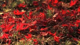 Κόκκινα φύλλα σφενδάμου φθινοπώρου απόθεμα βίντεο