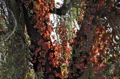 Κόκκινα φύλλα του αναρριχητικού φυτού της Βιρτζίνια φθινοπώρου στα δέντρα Στοκ φωτογραφία με δικαίωμα ελεύθερης χρήσης