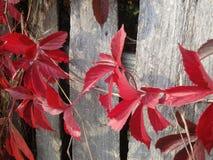 Κόκκινα φύλλα του αναρριχητικού φυτού της Βιρτζίνια φθινοπώρου στο φράκτη Στοκ φωτογραφία με δικαίωμα ελεύθερης χρήσης