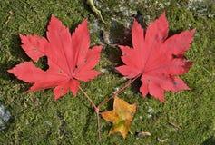 Κόκκινα φύλλα του σφενδάμνου 17 Στοκ Εικόνα