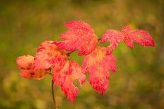 Κόκκινα φύλλα φθινοπώρου Στοκ Φωτογραφίες