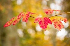 Κόκκινα φύλλα φθινοπώρου Στοκ Εικόνες