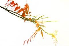 Κόκκινα φύλλα Στοκ Εικόνα