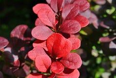 Κόκκινα φύλλα Στοκ εικόνα με δικαίωμα ελεύθερης χρήσης