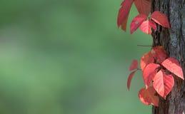 Κόκκινα φύλλα Στοκ φωτογραφίες με δικαίωμα ελεύθερης χρήσης