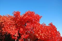 Κόκκινα φύλλα Στοκ Φωτογραφίες