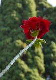 Κόκκινα φύλλα poinsettia Στοκ Φωτογραφία