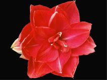 Κόκκινα Χριστούγεννα, κόκκινο Amaryllis, κόκκινο στο μαύρο backround στοκ εικόνα