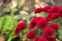 Κόκκινα χρυσάνθεμα που αυξάνονται στον κήπο, φωτεινά λουλούδια φθινοπώρου στοκ εικόνες