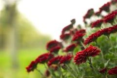Κόκκινα χρυσάνθεμα στον κήπο, φωτεινά λουλούδια φθινοπώρου όπως chamomile στοκ εικόνα