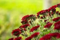 Κόκκινα χρυσάνθεμα στον κήπο, φωτεινά λουλούδια φθινοπώρου όπως chamomile στοκ φωτογραφίες