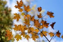 Κόκκινα, χρυσά και κίτρινα φύλλα σφενδάμου φθινοπώρου στο θολωμένο κλίμα μπλε ουρανού στοκ φωτογραφία
