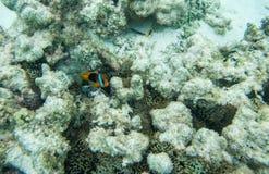 Κόκκινα ψάρια κλόουν στο σκόπελο Ειρηνικών Ωκεανών Στοκ εικόνες με δικαίωμα ελεύθερης χρήσης