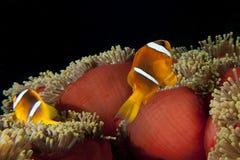Κόκκινα ψάρια κλόουν στο κόκκινο anemone Στοκ Φωτογραφία