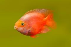 Κόκκινα ψάρια Στοκ εικόνες με δικαίωμα ελεύθερης χρήσης
