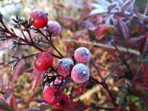 Κόκκινα ωριμασμένα φρούτα που είναι καλυμμένος παγετός σε ημερησίως χειμερινού πρωινού στοκ φωτογραφίες με δικαίωμα ελεύθερης χρήσης